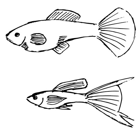 gills: Vector illustrations of sketch image of female and male guppy fish