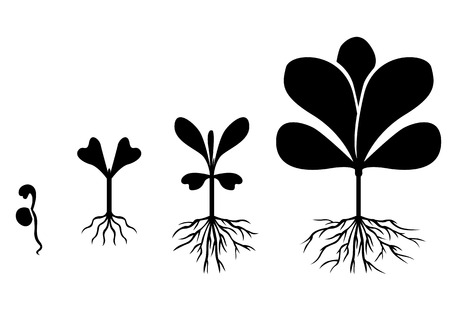 germinate: Vector illustrations of set of silhouette images of plants germinated from seed to mature plant Illustration