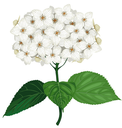 Vector illustrations of white hydrangea flower Illustration