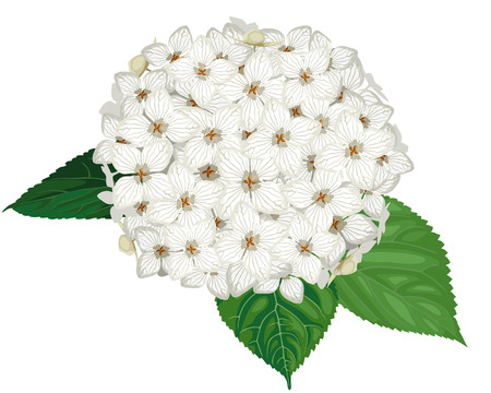 Vector illustrations of white hydrangea flower with leaves Illustration