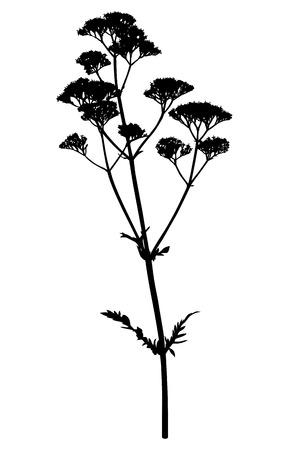 Vector illustrations of valerian flower silhouette Illustration