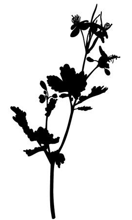 silhouette fleur: Illustrations vectorielles de silhouette chélidoine fleur