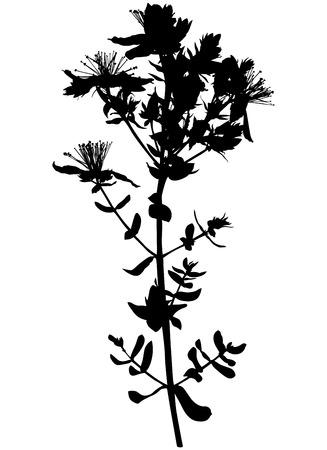 wort: Vector illustrations of Hypericum St. Johns wort flower silhouette Illustration