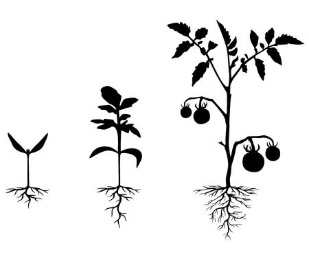 jitomates: ilustraciones del conjunto de siluetas de las plantas de tomate en diferentes etapas