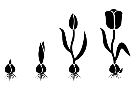 Vector illustrations of silhouette of growth cycle tulip bulbs to flower