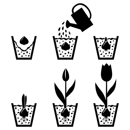 leaf water drop: Vector illustrations of silhouette of growth cycle tulip bulbs to flower in pot Illustration