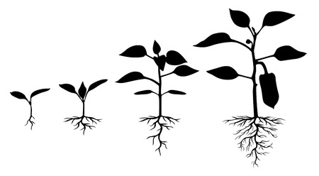 sprouting: Vector illustrations of Set of silhouettes of peppers plants at different stages