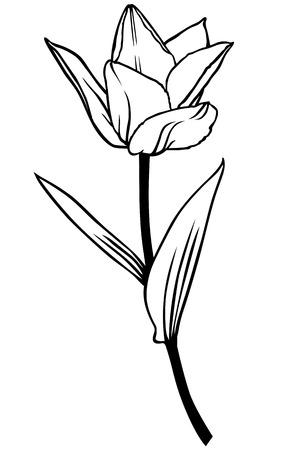 contour: Vector illustrations of contour beautiful tulip flower