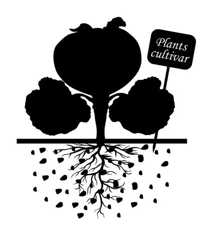 sprouting: Vector illustrations of silhouettes of cabbage plants with label cultivar Illustration