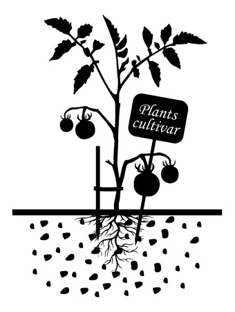 root vegetables: Vector illustrations of Set of silhouettes of tomato plants with label cultivar