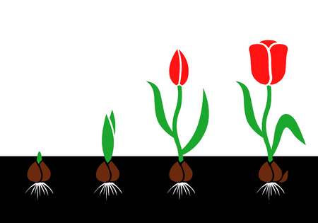 Vector illustrations of growth cycle tulip bulbs to flower