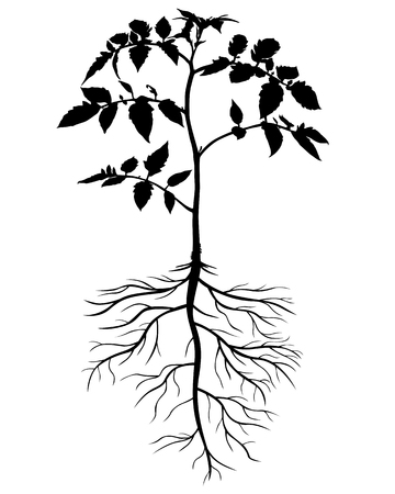 the sprouting: Vector illustrations of silhouettes of tomato plants Illustration