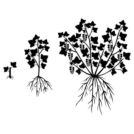 Vector illustrations of silhouette saplings of currants of different ages