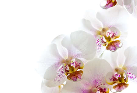 orchid house: close-up photo of white orchid flowers