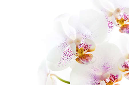 Macro of white orchid flower on white background Stockfoto