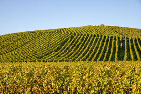 field of vine grapes under sun light