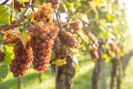 red grapes on vine under sun light