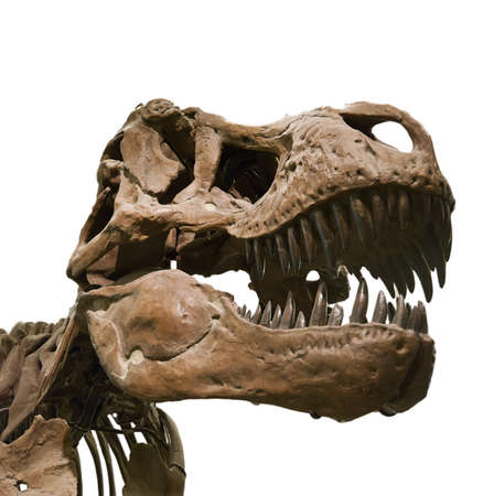 tiranosaurio rex: Retrato de un esqueleto de dinosaurio, aislado en blanco puro.