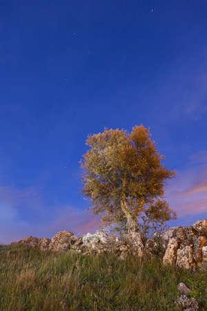 Olive tree  Night scene
