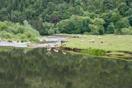 Sheep in a Scottish meadow on the River Tweed near Innerleithen (UK)