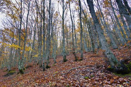 Autumm in the Beech forest  Tejera Negra, Guadalajara  Spain