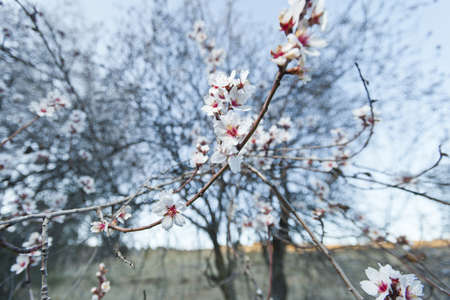 Flowered almond with a white flowers