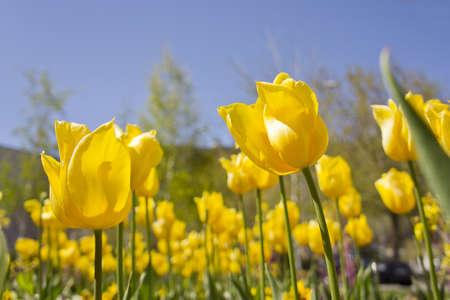 Yellow tulips ant view.