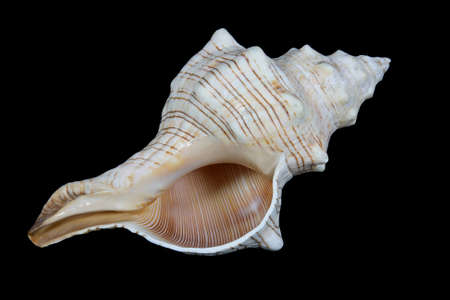 Isolated conch shell close up on black background photo