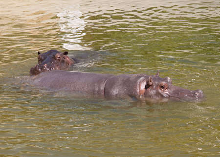 protruding: hippo protruding above the water surface