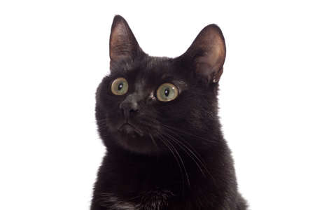 Black cat portrait, isolated on the white Stock Photo - 12510081