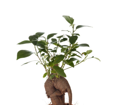 ficus: Bonsai Ficus Tree isolated on the white