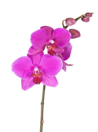 Beautiful purple orchid, isolated on white photo