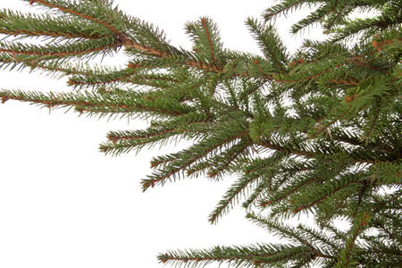 Branch of the spruce isolated on white photo