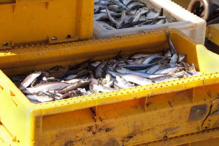 sardinas: Peces de mar frescos en cajas