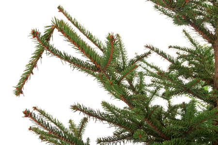 Branch of the spruce , isolated on white