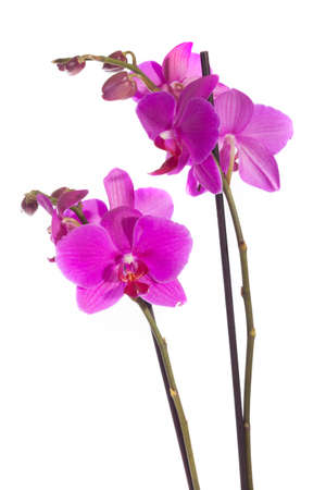 Purple orchid, isolated on white Stock Photo
