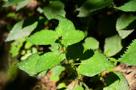 irritation: Green leaves of a nettle