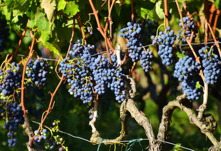 Ripening Of Grapes