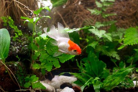 Goldfish in aquarium with green plants Banque d'images