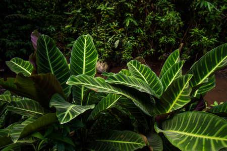 Calathea zebrina green leaf plant
