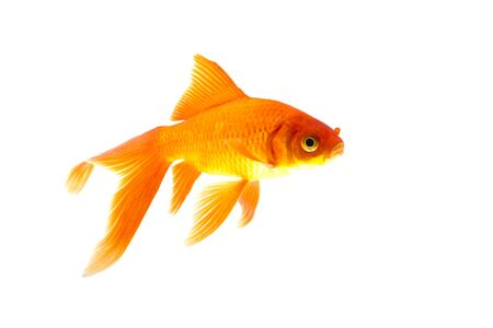 Koi fish is domesticated version of common carp. Banque d'images