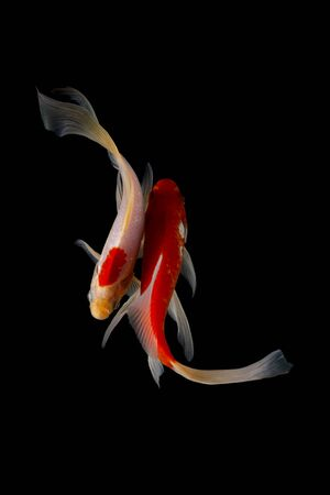 Koi fish is domesticated version of common carp.