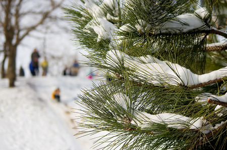 Pine branches with snow. People having fun ride with winter. Trendy selective focus with shallow depth of field Zdjęcie Seryjne