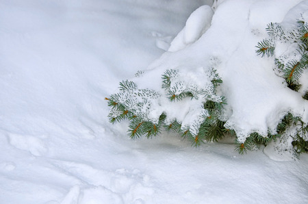 Frozen coniferous branches covered with winter snow. Christmas New Year winter background with snowy fir trees Zdjęcie Seryjne