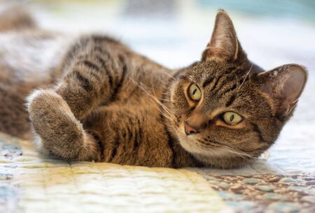 Domestic tabby adult cat laying stretched out on a blue and green blanketed bed. Archivio Fotografico