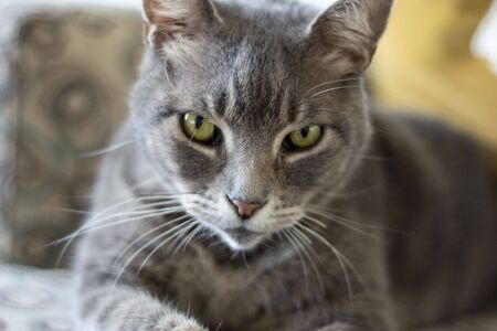 A grey domestic cat sitting on a blue, grey, and tan chair with regal look. Yellow pillow and blue and white blanket in the blurry background.