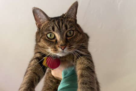 Adult domestic tabby cat being held up in the air glaring at the person