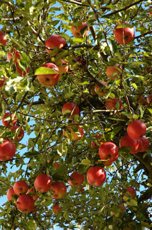 Apple tree with many red apples photo