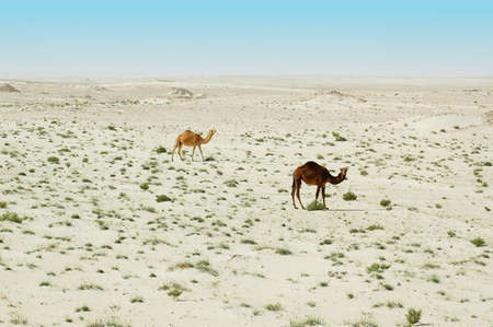 Two camels in the desert Stock Photo - 13029759