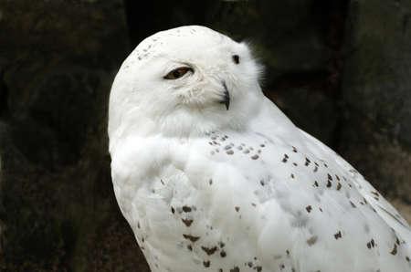 snowy owl: White snowy owl